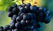 Folder do Evento: Festa da Uva
